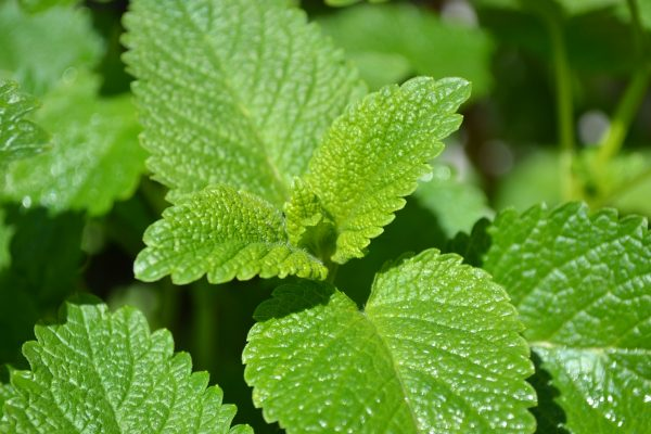 Leaves of the lemon balm plant are often used in naturopathic medicines to ease symptoms of anxiety.